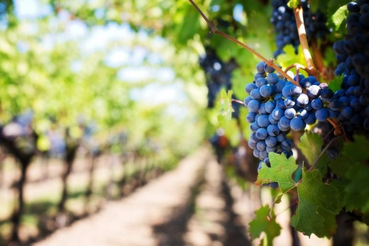 purple-grapes-vineyard-napa-valley-napa-vineyard-1